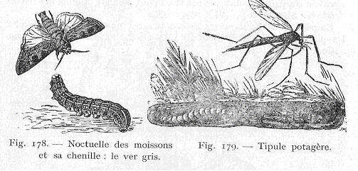 Cercle horticole fosses 21 for Ver gris noctuelle