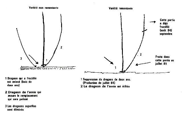 Cercle horticole fosses 22 - Comment tailler un murier ...