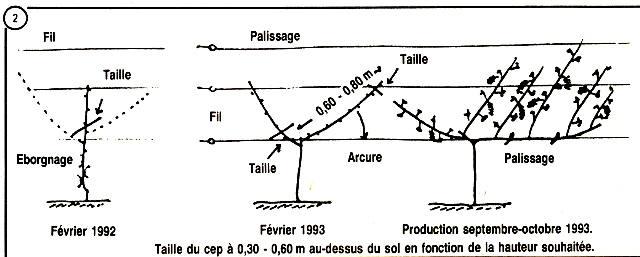 Cercle horticole fosses 22 - Planter vigne raisin de table ...