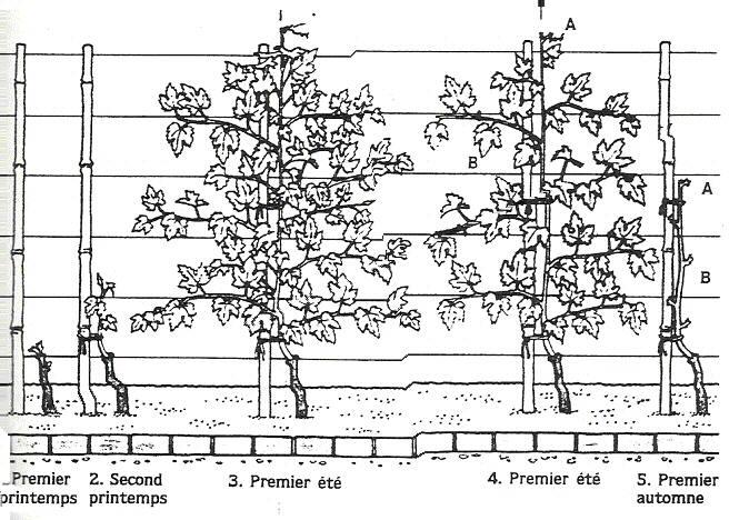 Cercle horticole fosses 28 - Planter un pied de vigne ...