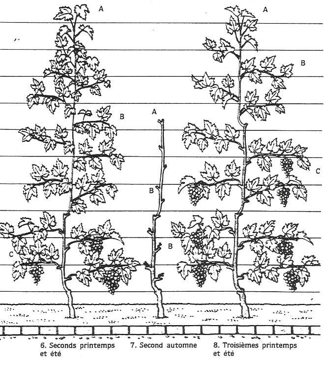 Taille vigne de table la taille en marquise simple ou double se fait au lamier pour les parties - Planter vigne raisin de table ...
