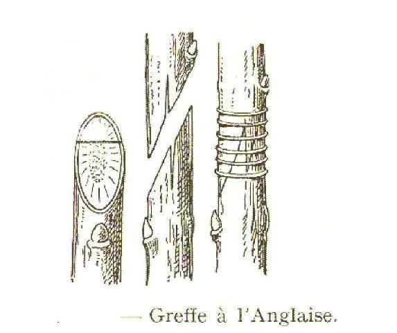 """Résultat de recherche d'images pour """"greffe anglaise"""""""