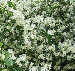 Arbuste A Petites Fleurs Blanches Parfumees Euroseconde