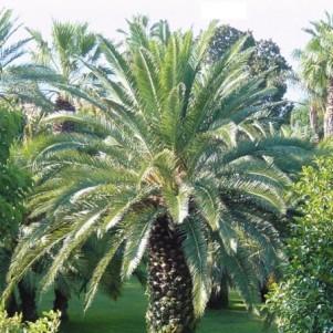 Cercle horticole fosses 39 for Palmier nain exterieur