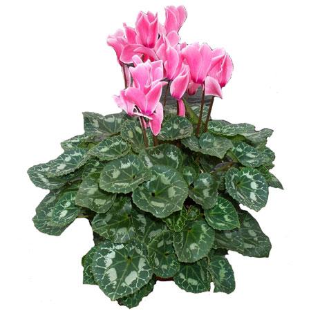 apr s la f condation la tige de la fleur s 39 enroule d posant la capsule sur le sol pendant son. Black Bedroom Furniture Sets. Home Design Ideas